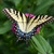 5x7 Print, Tiger Swallowtail Butterfly on Zinnias print, original photography,