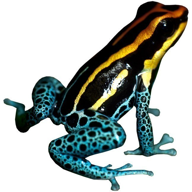 Beautiful Yellow and Blue Frog Decal