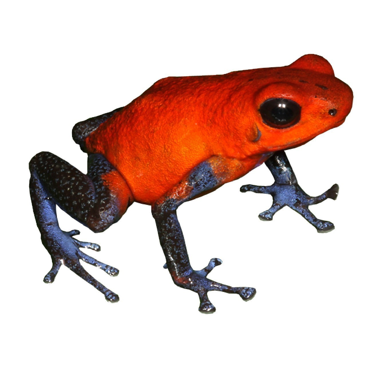 Red And Blue Frog Vinyl Decal By Wilsongraphics On Zibbet
