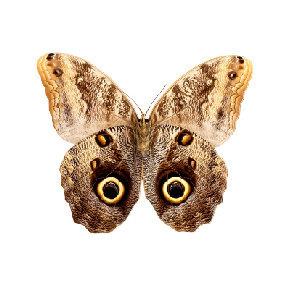 Brown Moth Vinyl Decal 3 inch wide