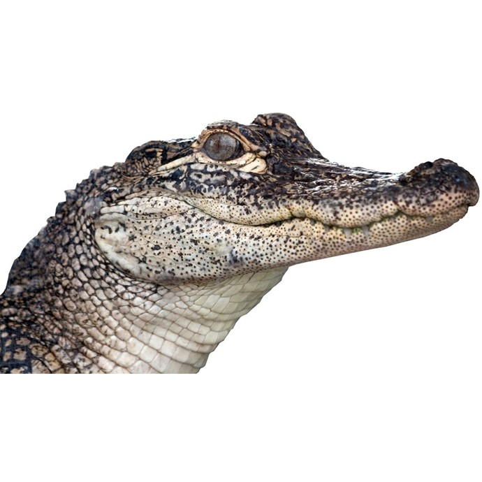 "Alligator Peering Around Wall Vinyl Decal - 6.6"" tall x 12"" wide"