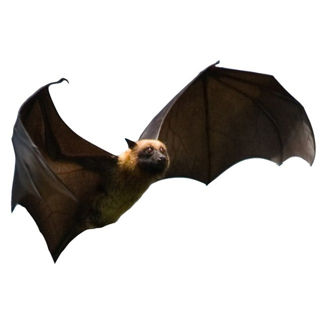 "Flying Fox Bat Wall Decal - Design 1 - 7.5"" tall x 11"" wide"