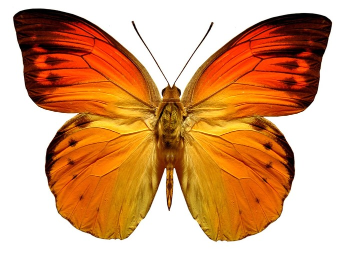 bright orange butterfly decal by wilsongraphics on zibbet