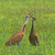 Pair of Sandhill Cranes Singing in Field at Conboy National Wildlife Refuge