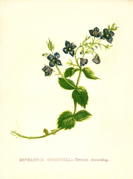Germander Speedwell 1856 Victorian Anne Pratt Antique Botanical Chromolithograph