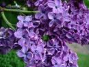 Lilac 6pk