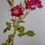 Original Rose Pastel Drawing,  fine art, realism, botanical, nature, floral,