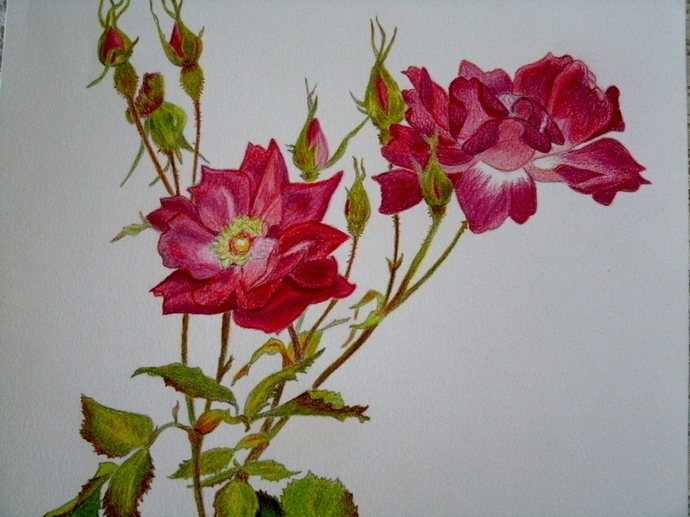 Original Rose Pastel Drawing,  fine art, realism, botanical, nature, floral,