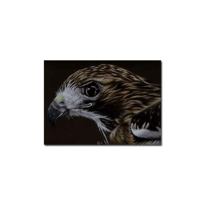 HAWK raptor bird pencil painting Sandrine Curtiss Art Limited Edition Print ACEO
