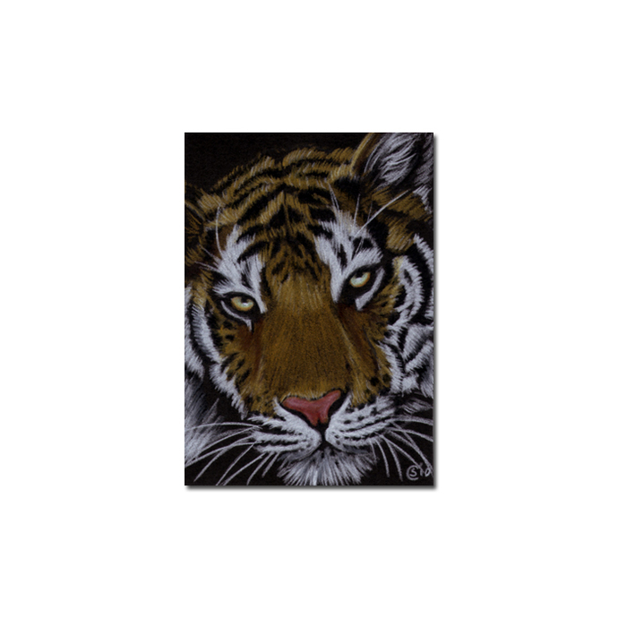 TIGER 36 portrait big cat feline pencil painting Sandrine Curtiss Art Limited