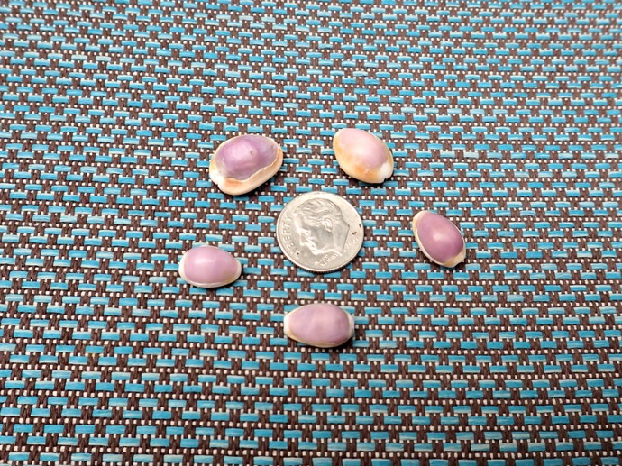 5 Small Cream and Purple Cowrie Shells