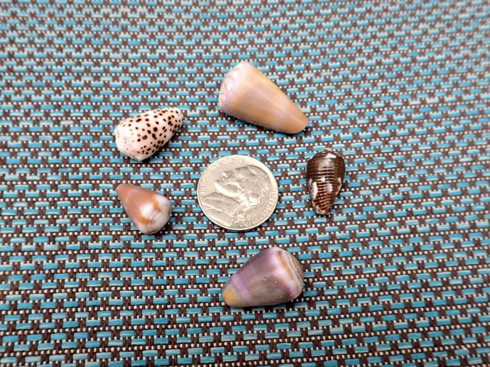 5 Various Hawaiian Cone Shells