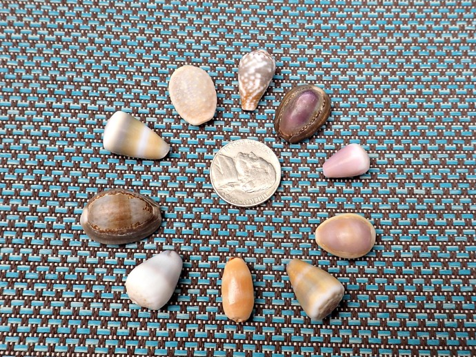 10 Assorted Cone and Cowrie Shells from Hawaii