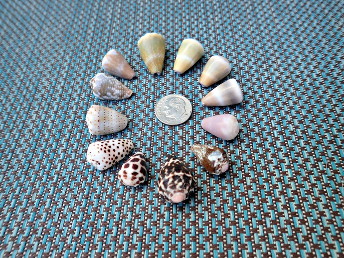 12 Assorted Cone Shells