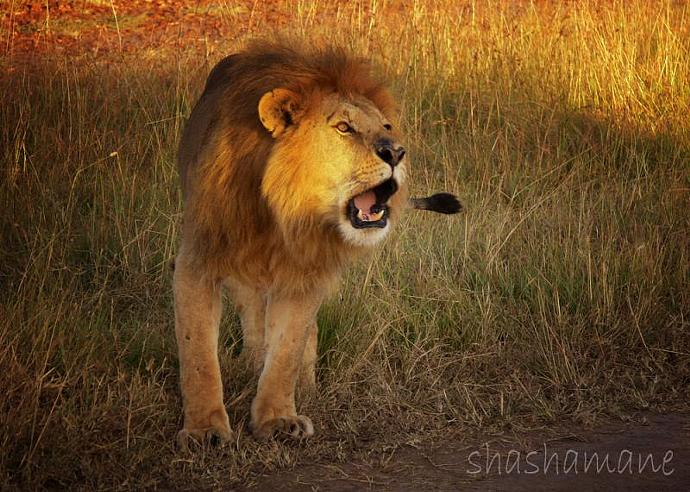"Roaring lion 5 x 7"" fine art photography print - wild, big cat, africa"