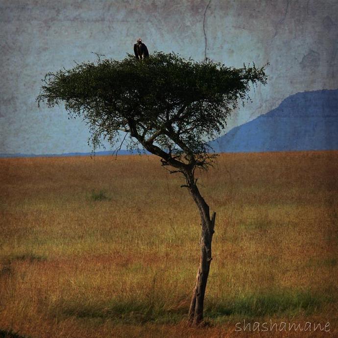 "Timelessness 5 x 5"" fine art photography print - African savannah, acacia tree,"