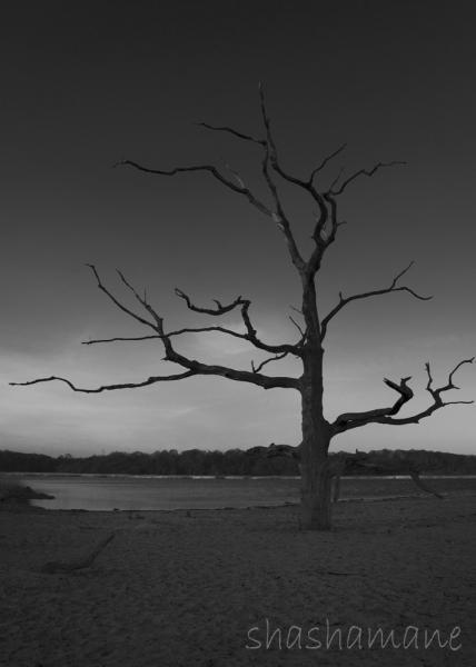 "The Skeleton Coast - Petrified 7 x 5"" fine art photography print - dead tree b&w"