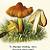 Witch's Cap Mushroom and Wax Cap Mushroom 1924 Antique Roman Schulz German