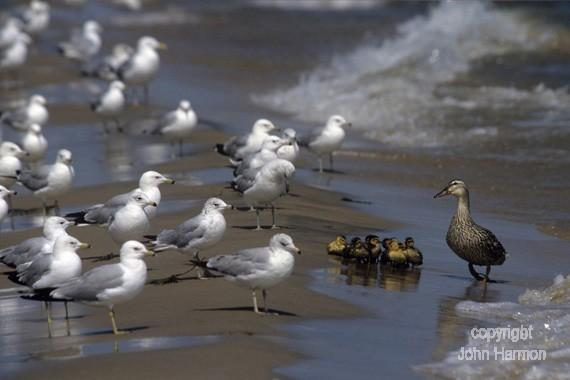 Seagulls Eyeing Baby Ducklings on a Beach Fine Art Photo