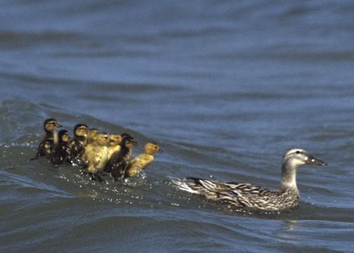 Ducklings Back-pedaling to Avoid Mother Fine Art Photo