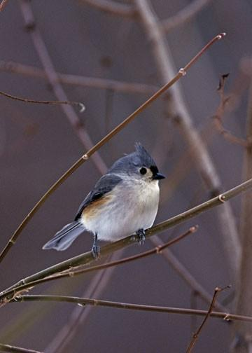 Tufted Titmouse in a Winter Setting Fine Art Print