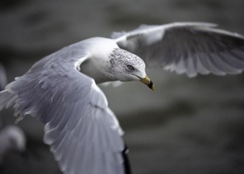 A Seagull in Flight Fine Art Photo