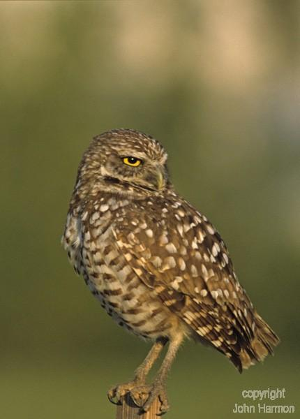 Hoot A Burrowing Owl Fine Art Print
