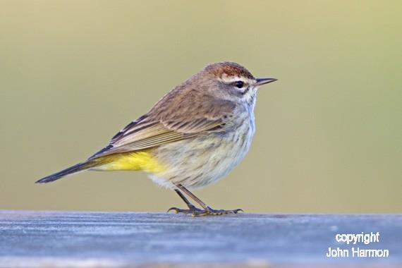 Portrait of a Palm Warbler Bird Fine Art Photo