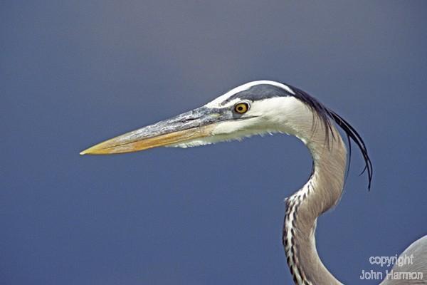 A Portrait of a Great  Blue Heron Fine Art Bird Photo