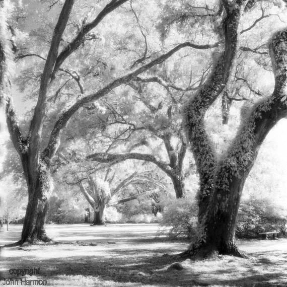 Infrared photo of live oaks.