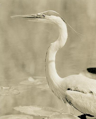 Great Blue Heron Lith Processed Artistically  Presented.