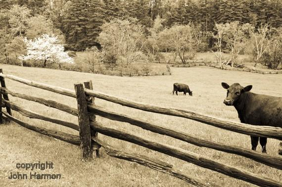 Cows on the Blue Ridge Parkway of Rural North Carolina Black and White Sepia