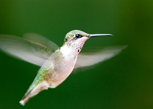 Hovering Ruby Throated Hummingbird Fine Art Bird Photo