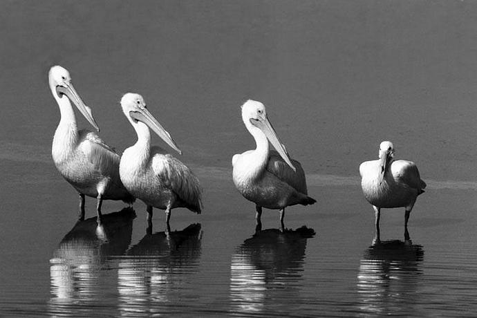White Pelican Bird Humor Fine Art Photo