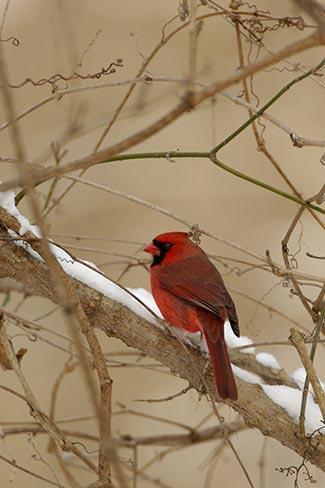 A Male Red Cardinal in a Winter Setting Fine Art Photo Bird Art