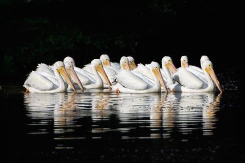 Twelve White Pelicans on Sanibel Island at  Ding Darling