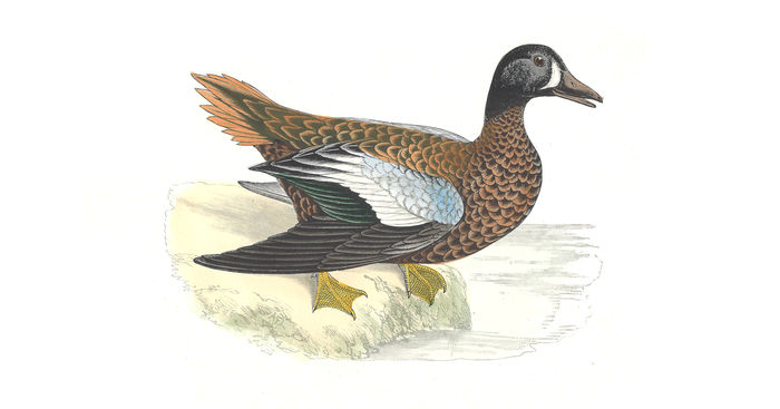 Original nat hist morris 1895 blue winged teal b